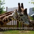 Girafa en el Zoo de Madrid